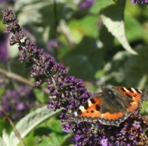 Buddleia collection - 5 varieties flowering from May to November